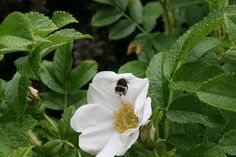 Bee on the white rose of the rosa rugosa @ Cae Hir Gardens
