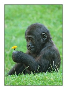 Baby gorilla examining a yellow flower.