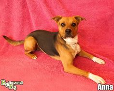 ANNA (pretty princess) AKRON, OHIO...Meet Anna a Petfinder adoptable Shepherd Dog   Akron, OH   Meet sweet Anna ... she's as pretty and sweet as her picture!Note:  Please keep in mind that all...