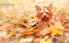 Jesień, Liście, Pies
