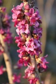 Daphne mezereum - A difficult plant to grow well, but a rewarding flower and great scent.