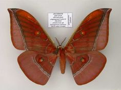 Antheraea castanea male Kachin/ Mynamar