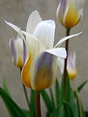 Water-Lily Tulip (Tulipa Kaufmanniana), Kew Gardens, London. Image credit beartomcat #Gardens #Tulip