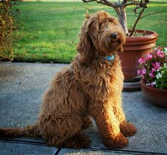 red australian labradoodle all grown up!