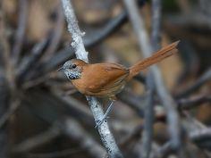 Foto joão-de-barba-grisalha (Synallaxis kollari) por Sergio Gregorio | Wiki Aves - A Enciclopédia das Aves do Brasil