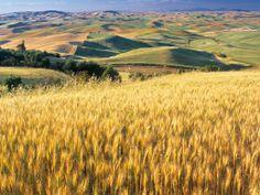 Plantação de trigo Wallpaper