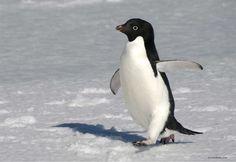 Adelie Penguin images