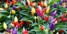 6 Tanaman Hias Buah yang Indah dan Bermanfaat