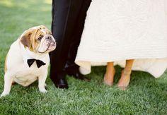 Bulldog in a bowtie