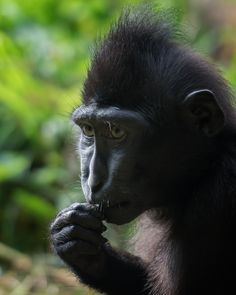 https://flic.kr/p/sh5z8B | Lintang, deep in thought... | The wonderful young Lintang, Sulawesi Crested Black Macaque @ Durrell Wildlife Conservation Trust