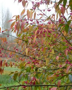 Medium to small tree than can grow to approx. The branches are green and definitely square, they are usually smooth but sometimes have corky Red Robin, Root System, Small Trees, Seeds, Nursery, Leaves, Canning, Orange, Rose
