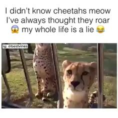 Yup Cheetahs Meow - Funny Animal Quotes - - Did you know that cheetahs meow like cats Funny Animal Jokes, Cute Funny Animals, Funny Cute, Funny Llama, Funny Animal Sayings, Clean Animal Memes, Funny Pet Memes, Stupid Animals, Smart Animals