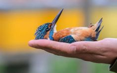 A beautiful kingfisher plays dead as he lies perfectly still on the palm of a human hand.