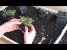 Slik planter du om frøplanter (prikle) – video | Moseplassen Camera Phone, Om, Planters, Vegetables, Veggies, Vegetable Recipes, Plant, Window Boxes, Flower Pots