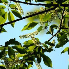 Chokeberry Tree Blossoms