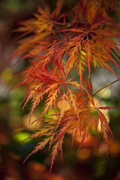 Japanese Maple leaves in autumn. Autumn Scenes, Seasons Of The Year, Fall Pictures, Belle Photo, Autumn Leaves, Maple Leaves, Autumn Fall, Autumn Forest, Winter