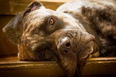 Brindle English Mastiff - Brindle English Mastiff portrait