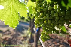 """Helena, CA A new phase is upon us here in Napa, """"verasion,"""" when the grapes ripen enough to blush (or turn yellow in the case of """". Wine Country, Sailing, Paradise, Ads, Fruit, Blog, Candle, Blogging, Heaven"""