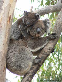 koala bears....