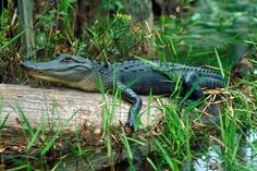 okefenokee swamp/images | See more photos on flickr