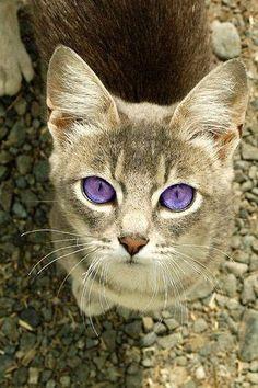 Chat aux yeux violets