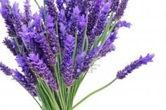 lavender - Google Search great for repelling cats and insects