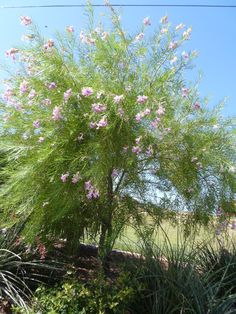 Desert Willow tree -- excellent frilly tree with pretty blossoms and very drought tolerant!