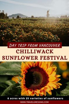 Take a day trip from Vancouver, BC to see the beautiful Chilliwack Sunflower Festival.  Tons of Instagrammable moments as you explore 6 acres of flowers filled with 25 varieties of sunflowers, and more than 50 varieties of dahlias.  #BritishColumbia | Fraser Valley | Fraser Valley Travel | Fraser Valley Things To Do | Fraser Valley Vacation | Fraser Valley Weekend | Vancouver | Day Trip from Vancouver | #Vancouver | Chilliwack | Sunflowers | Explore BC | Hello BC | Canada | YVR | New Travel, Travel With Kids, Group Travel, Destinations, Fraser Valley, Canadian Travel, Travel Pictures, Travel Photos, British Columbia