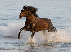 Bay Azteca stallion (Andalusian and Quarter Horse cross)