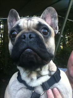 Spike, the French Bulldog