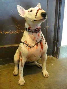 Bull terrier Halloween costume
