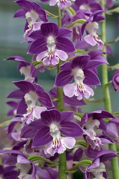 How To Select Little One Dresses Orchid-Calanthe-Kozu-Purple-Big-Bloom-Size-Fragrant. Unusual Flowers, Types Of Flowers, Amazing Flowers, Pretty Flowers, Lavender Flowers, Purple Flowers, Purple Orchids, Orchid Flowers, Orquideas Cymbidium