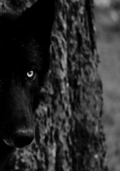 With coat darker than midnight, and eyes as pale and luminous as the moon, the midnight wolf prowls the twilight hour, seeking blood.