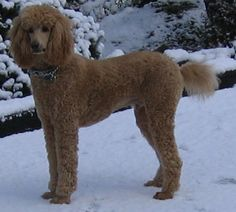 Is the Standard Poodle the Best Dog for You? | PetHelpful