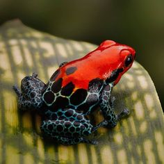 Strawberry Poison Dart Frog of Costa Rica (blue jeans frog)