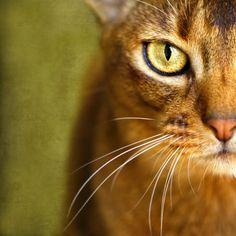 Half face portrait of an Abyssinian.  #cat #animal #pet