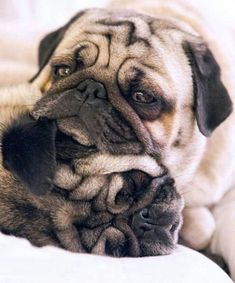 All they care about is that they are loved. I can do that ~ it's easy #Ilovepugs #pug