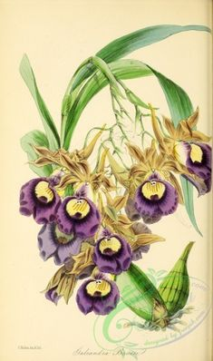 Bauer's Casque-Wort, galeandra baueri - high resolution image from old book. Botanical Drawings, Botanical Illustration, Illustration Art, Botanical Flowers, Botanical Prints, Flower Prints, Flower Art, Orchid Drawing, Historia Natural