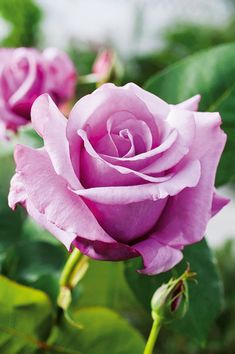 Hybrid Tea Rose 'Charles de Gaulle', | Marie-Louise (Louisette) Meilland 1974 http://www.jardiland.com/mon-jardin/1-pepiniere/4-rosiers/5178-rosier-charles-de-gaulle-meilanein?onglet=all