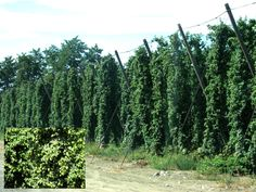 Hops almost ready for harvest in Yakima Valley, Washington. ~~ 8/26/2009