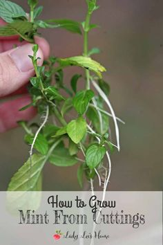 Growing a new mint plant from cuttings is easy and fast. Cut a healthy sprig, root it, and plant. Let me show you how in this picture tutorial. #LadyLee'sHome
