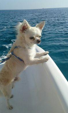 Chihuahua in barca :-) :-) :-)