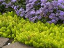 Sedum Angelina makes the perfect edging groundcover