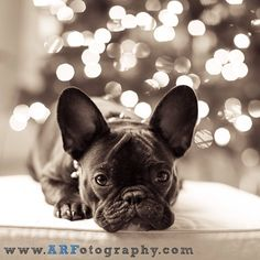 How beautiful... French Bulldog Frenchie Merry Happy Christmas Day Card Puppy Holiday Dogs Santa Claus Dog Puppies Xmas #MerryChristmas
