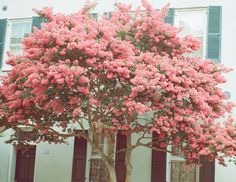 Charleston blooms | ting s,