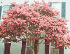 Charleston blooms | ting s,