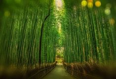 Self-guided Japan Itinerary options with 10 days and 2 weeks in Japan. Our Japan Itinerary 10 days includes Tokyo, Kyoto and Osaka. Bamboo Tree, Bamboo Plants, Garden Plants, Bamboo Hedge, Garden Pods, Sun Garden, Bamboo Garden, Kyoto Itinerary, Day Trips From Tokyo