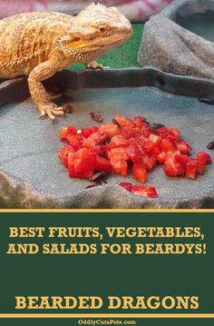 This guide covers the best fruits, vegetables, and salads for bearded dragons to keep them happy and healthy. Bearded Dragon Food List, Bearded Dragon Care Sheet, Bearded Dragon Funny, Bearded Dragon Cage, Bearded Dragon Habitat, Bearded Dragon Enclosure, Reptiles, Pet Lizards, Amphibians