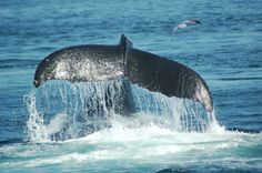 1. The tongue of a blue whale weighs as much as an elephant. 2. Blue whales are pregnant for 2 months and a calf weighs as much as 80 Patriots players!  3. Blue whales are the loudest creatures on Earth! Reaching levels up to 188 decibels = louder than a jet. #whalewatching