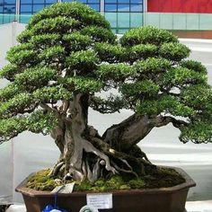 Dan Reyes uploaded this image to 'My Bonsai Links/Bantigue Bonsai'. See the album on Photobucket. Mini Bonsai, Indoor Bonsai, Bonsai Plants, Bonsai Garden, Indoor Plants, Ikebana, Bonsai Forest, Bonsai Tree Types, Plantas Bonsai